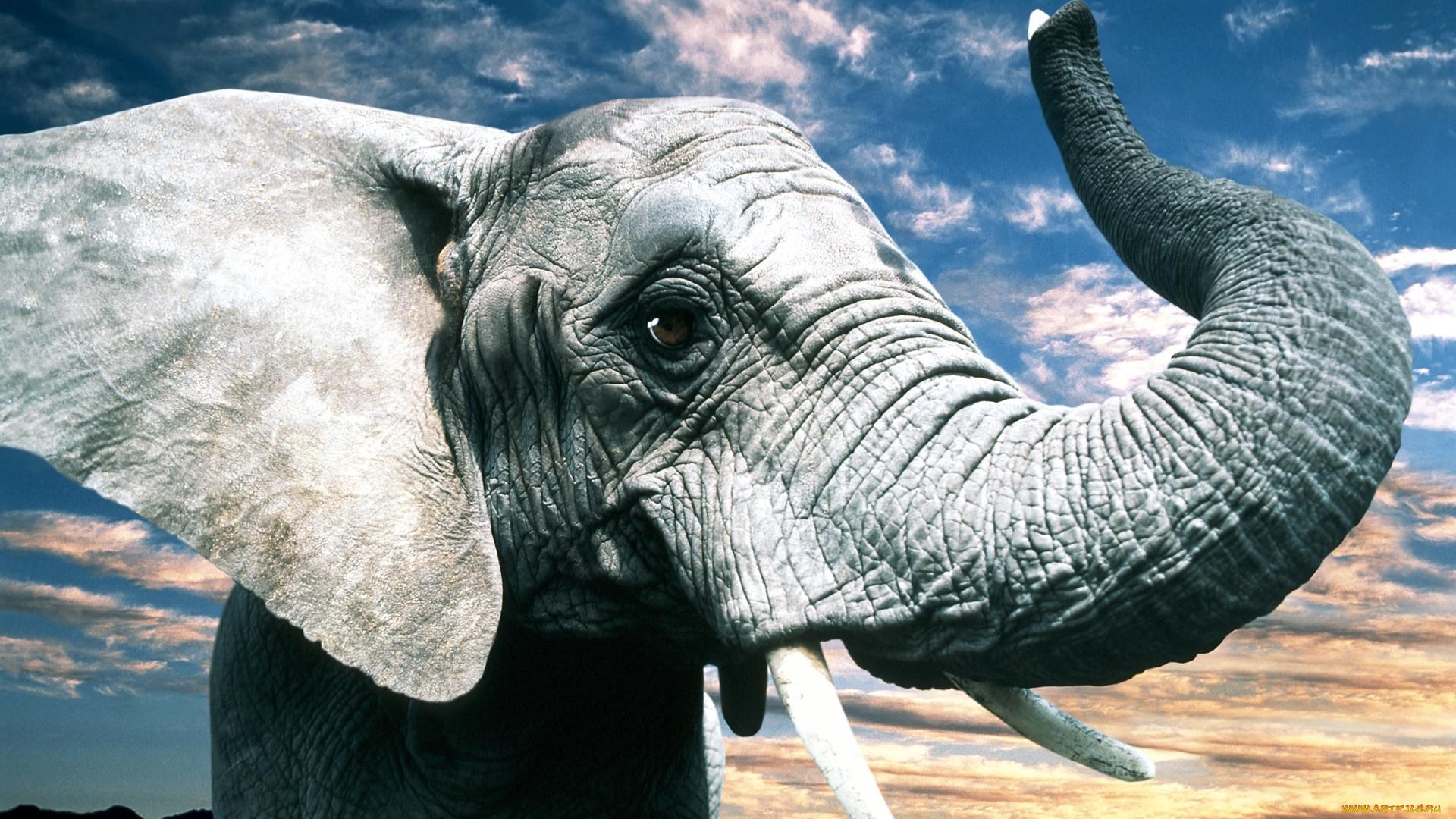 картинки слон хобот рецептуре приготовления